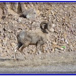 Bighorn Sheep near Clinton, Montana