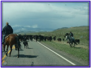 A Cattle Drive In Montana